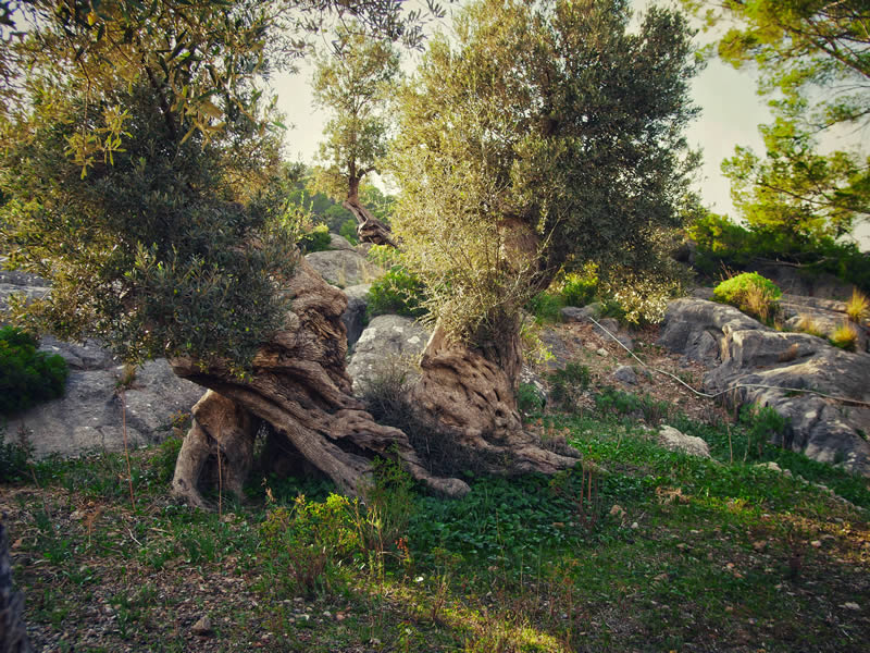 The Lovers Olive Tree
