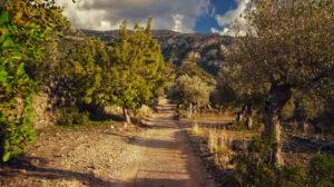 Olive Groves in Deia